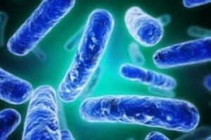 Bifidobacterium Longum Bacteria